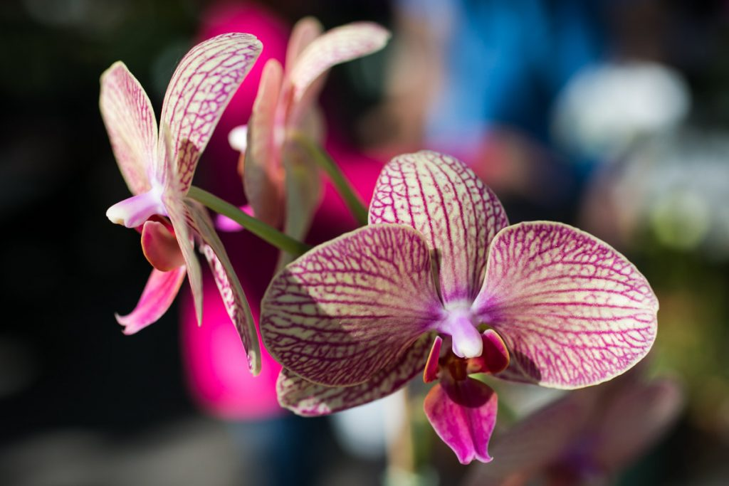 Orchids for sale at the Wat Mongkolratanaram, photographed by NYC photojournalist, Kelly Williams