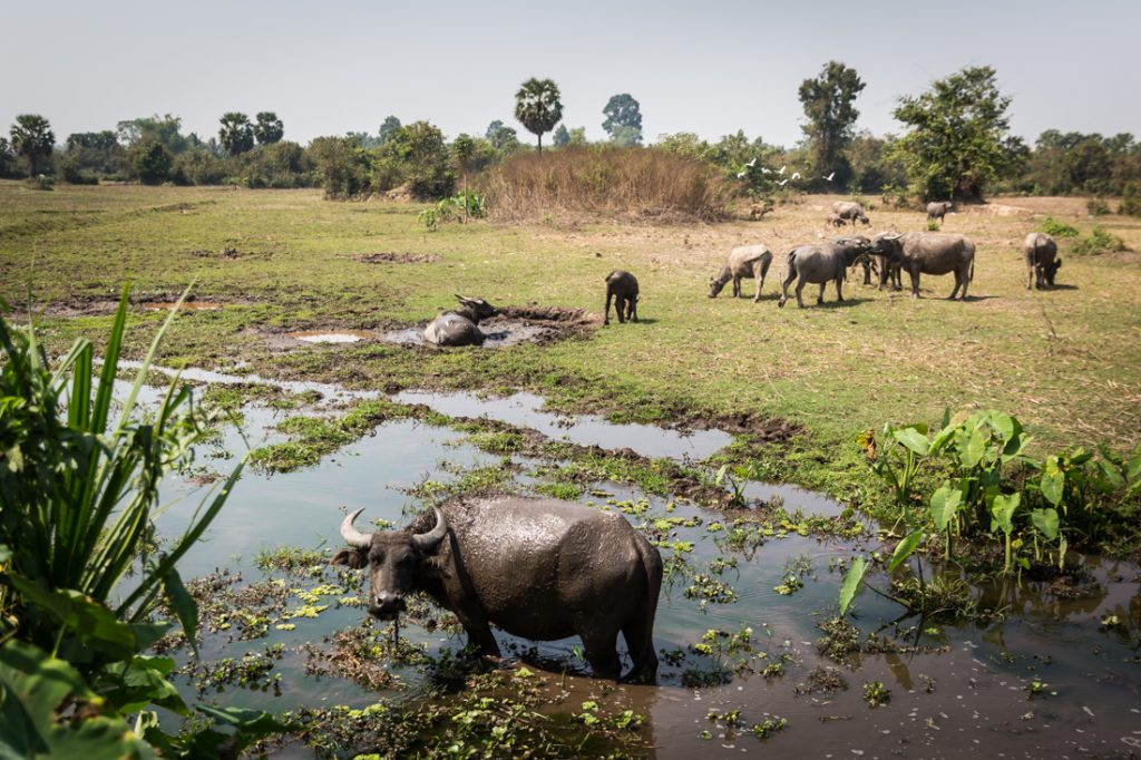 Water buffalo in a field for an article on Angkor Wat travel tips