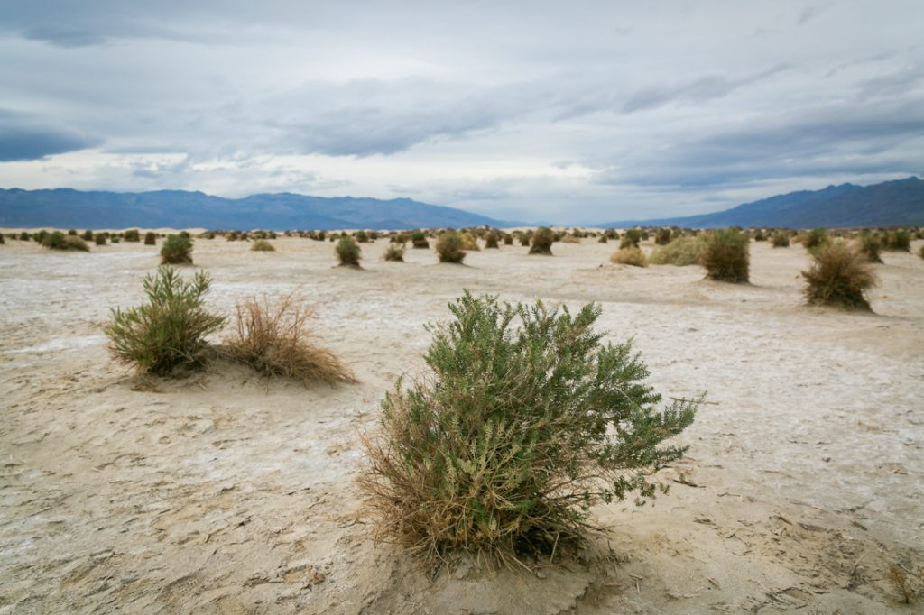 Devil's Cornfield landscape for an article on Death Valley travel tips