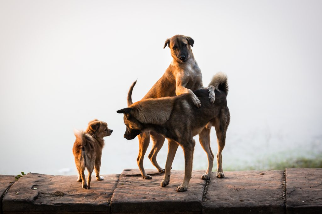 Dogs at Srah Srang for an article on Angkor Wat sunrise strategies
