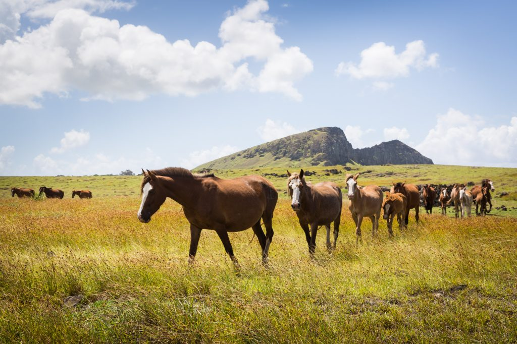 Horses in a field for an Easter Island travel guide