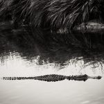 Alligator in Florida Everglades in black and white