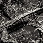 Alligator in Florida Everglades in black and white